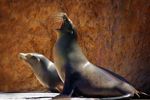 Dupla de leões marinhos