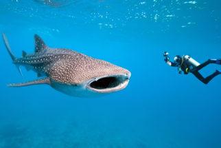 Tubarão baleia: curiosidades, alimentação e características