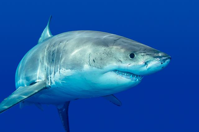 Grande tubarão branco no mar