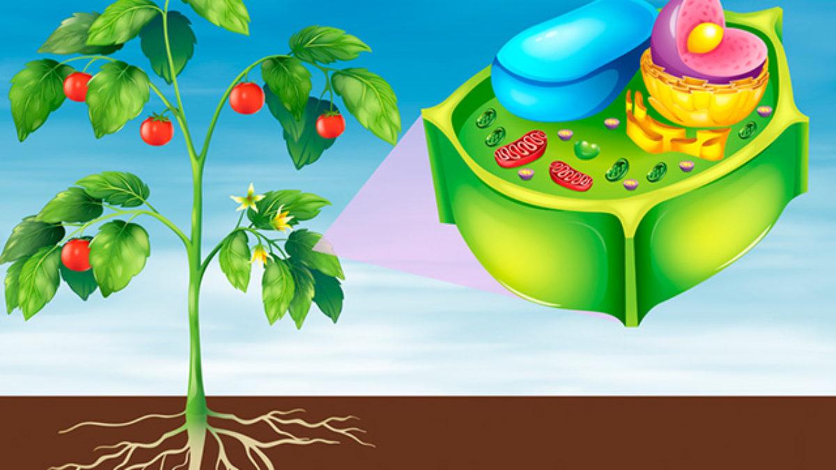 Celula Vegetal O Que E Estrutura E Funcoes Estudo Pratico