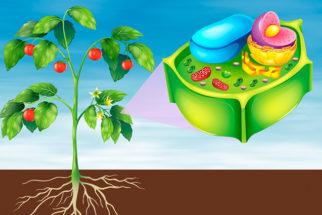 Célula vegetal: o que é, estrutura e funções