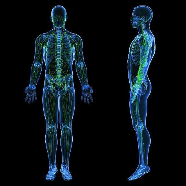 Demonstração do sistema linfático