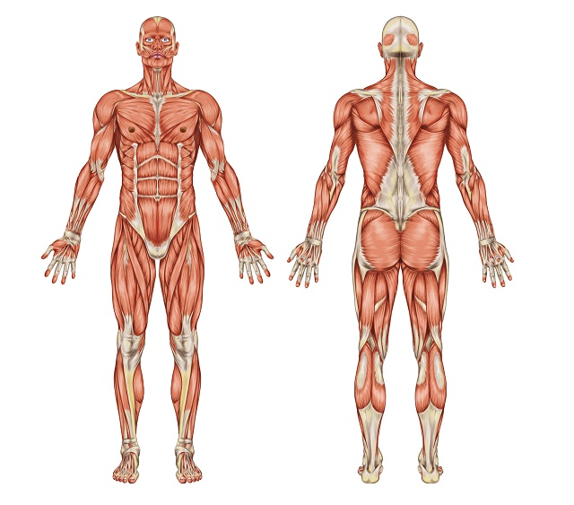 Representação do sistema muscular