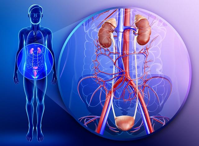 Sistema urinário ampliado