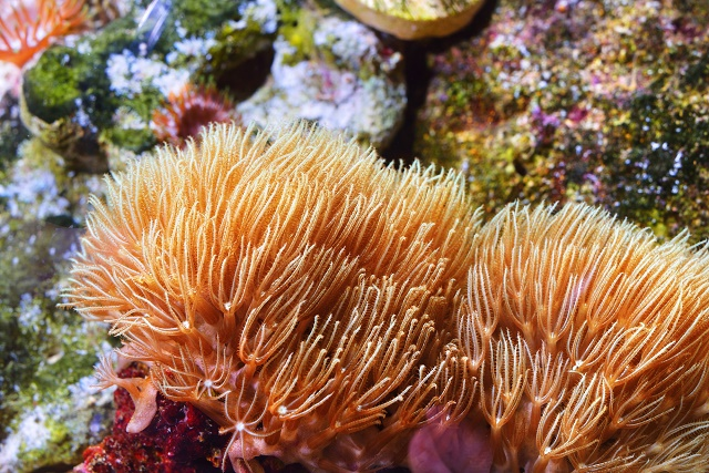 Anêmonas-do-mar amarelas
