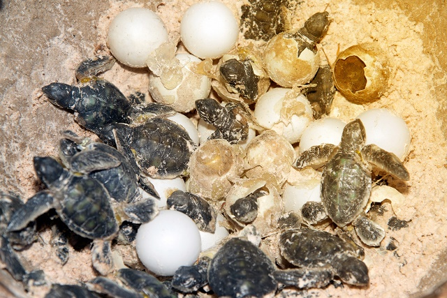 Tartarugas saindo do ovo