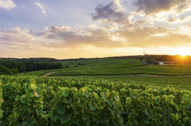 Campo de plantações de uva na zona rural